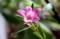 ミカン科「サザンクロス・クロウェア」の花。(30.3)