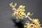 超ミニの「吹き出し」を連想させる、「マンサク」の花。(30.3.4)