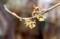 雨に濡れる「マンサク(万作・満作)」の花。(30.3.5)