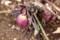 陽だまりで、「クリスマスローズ」が花茎を擡げて…。(30.3.6)