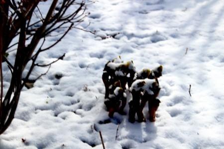 淡雪を被った「フクジュソウ(福寿草)」。(30.3.10)