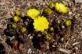 雪が融けて、「フクジュソウ(福寿草)」が開花。(30.3.10)
