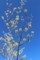 「マンサク(万作・満作)」の黄色の花が青空に映えて…。(30.3.10)