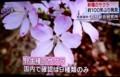 テレビ報道、新種桜・「クマノザクラ」。(30.3.13)