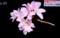新種桜・「クマノザクラ」(30.3.13)