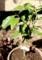 陽だまりに植えた「やぶ北茶」の苗。(30.3.14)