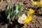 「春花壇」のクロッカスが一気に開花。(30.3.15)