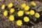 「フクジュソウ(福寿草)」は、葉が展開し始めて…。(30.3.15)