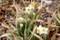 健気にも花を見せた「日本水仙」(賢治ガーデン)(30.3.16)
