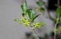 「コクサギ(小臭木)」、艶のある葉と、風変わりな花。(30.3.17)