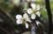 出窓で開花した「ヤマナシ」。(30,3,17)
