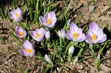春花壇には、別品種の「クロッカス」が…。(30.3.18)