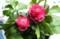 「ラナンキュラス」、可愛らしい一鉢。(30.3.18)