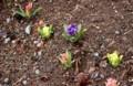 賢治ガーデン・小径わきに、「ヒヤシンス」が開花。(30.3.20)