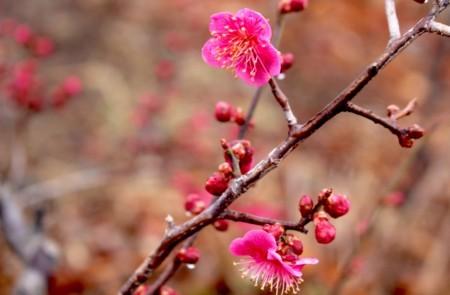 淡雪に、「紅梅」が咲く。(30.3.20)