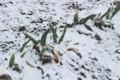 春の雪を被る、「下仁田ネギ」。(30.3.21)