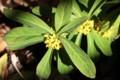 寒さに強く、早春に咲く「ナツボウズ(夏坊主)」。(30..3.23)