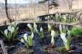 「水張種」が際立つ、早春の田園。(30.3.26)