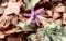 咲き始めた「カタクリ(片栗)」群生地。(30.3.29)