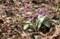 咲き始めた「カタクリ群生地」。(30.3.29)