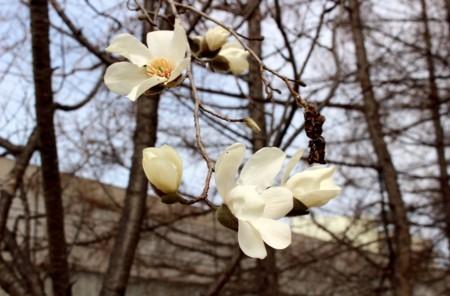 間近に観た「コブシ(辛夷)」の花。(30.3.28)