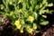 春花壇に「プリムラ・ヴェリス」が咲き始め…。(30.3)