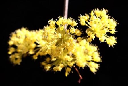 存在感ある、「ハルコガネバナ(春黄金花)・サンシュユ(山茱萸)」