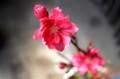 「ハナモモ(花桃)・照手赤」が開花。(30.4.1)