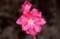 端正さに豪華さをもった、花桃の花。(30.4.1)