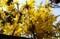 気づかない内に咲き出した「レンギョウ(連翹)」の花。