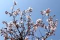 一気に開いた「ヒガンザクラ(彼岸桜)」の花。(30.4.3)