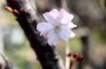 雰囲気がお気に入りの「ジュウガツザクラ(十月桜)」。(30.4.3)
