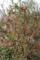 賢治ガーデン・山の小径で、「ボケ(木瓜)」の花が出迎え。(30.4.3)