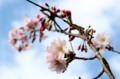 小雪が舞う中、「ジュウガツザクラ(十月桜)」の花。830.4.8)