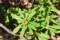 陽だまりに咲く、「ナツボウズ(夏坊主)」の花。(30.4.9)