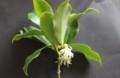珍しい花、「シキミ(樒)」か…?(30.4.9)