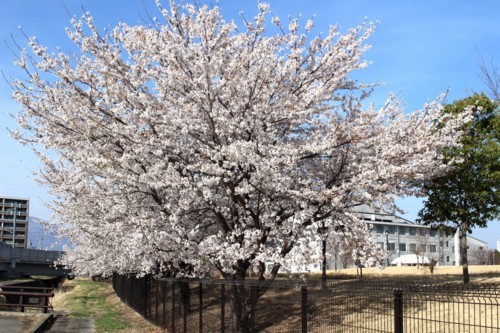 「ひろば」の桜並木、青空に映えて今が見頃に。(30.4.10)