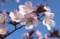 特徴ある「オオヤマザクラ(大山桜)」。(30.4.10)