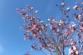 賢治ガーデンの「オオヤマザクラ(大山桜)」。(30.4.10)
