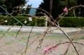 駐車場脇の「ハナモモ(花桃)」が咲く。(30.4.11)