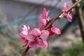 咲き分け・「ハナモモモ」。(30.4.11)