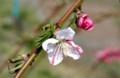葉も開き始め、咲き分けの「ハナモモ」。(30.4.11)
