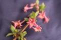 紫外線対策、茶色っぽい若葉・「イロハモミジ」。(30.4.12)