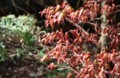「イロハモミジ」の茶色っぽい若葉は、紫外線対策とか…。