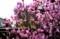 一緒に咲き出した、左側「R・吉野」と右側「玄海ツツジ」。(30.4.12)