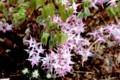 一気に開いた「イカリソウ(碇草)」の花。(30.4.12)