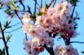 朝日に輝く「ジュウガツザクラ(十月桜)」の花。(30.4.13)