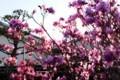 朝日が透けて美しい、「ツツジの花々」。(30.4.13)