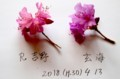 「R.吉野」と「玄海ツツジ」の比較。(30.4.13)