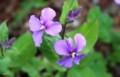 目に鮮やかな「ショカツサイ(諸葛菜)」の花。(30.4.14)